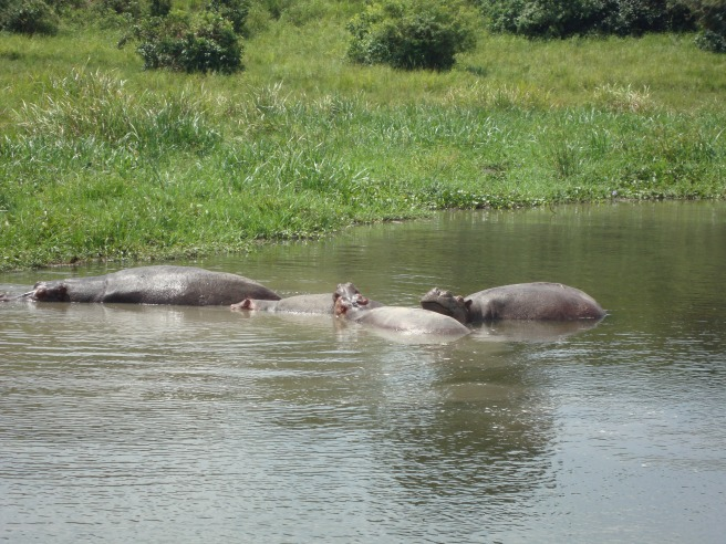 We saw approximately 500 hippos. In fact, Russ saw one a little too close!
